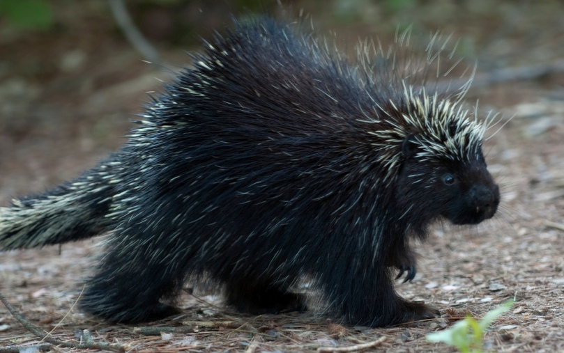 Porcupine2.jpg