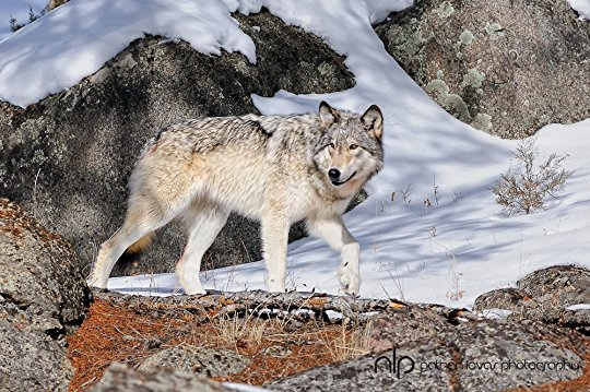 wolfo6.jpg
